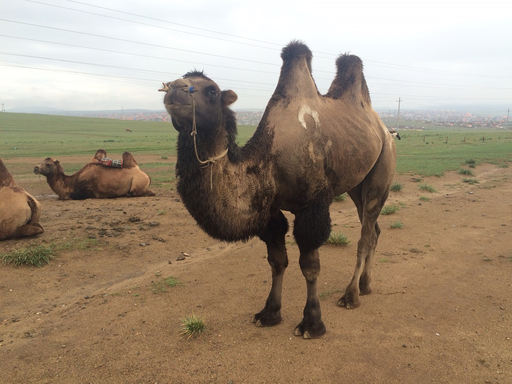 Image shows a two-humped Bactrian camel